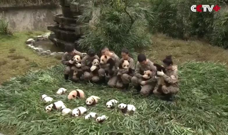 cuccioli di panda (8)