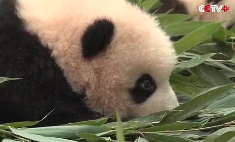 cuccioli di panda (9)