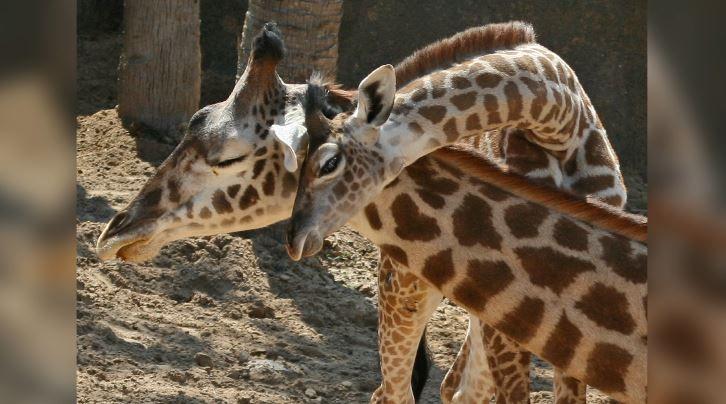 april la giraffa