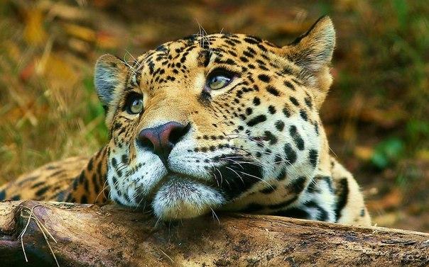 Leopardo di Amur