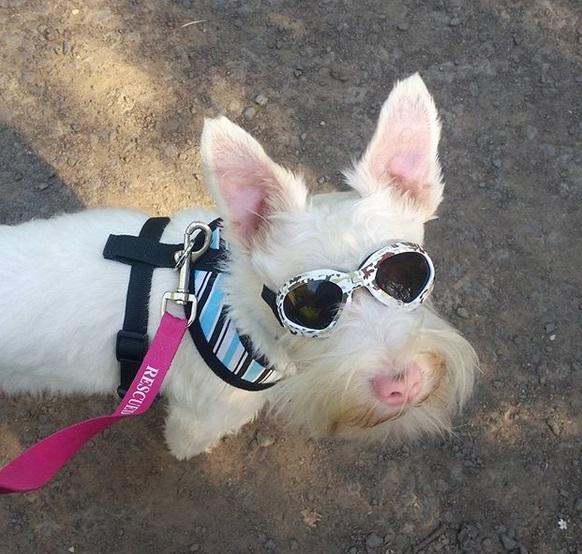 cane albino con gli occhiali da sole