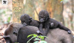 Buon compleanno a Inguka e Inganda, i gorilla gemelli