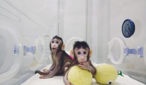 Clonate le prime scimmie con la stessa tecnica della pecora Dolly