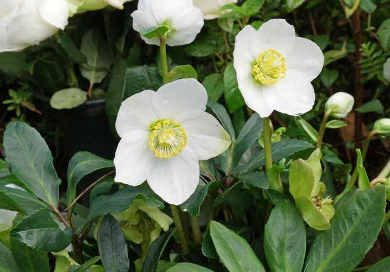 ELLEBORO. Attenzione! Questo fiore allude a uno scandalo o a una calunnia. Il destinatario deve interpretare il dono di questo fiore come la volontà di superare o prevenire un disastro imminente.