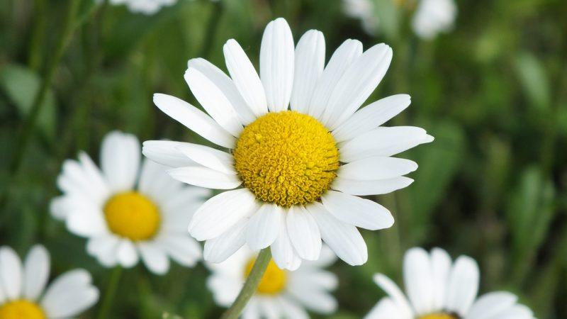 MARGHERITA. Al giorno d'oggi, la margherita è comunemente associata all'innocenza dell'infanzia, ma gli europei pagani vedevano in questi fiori delicati dei piccoli soli, i cui petali bianchi ne ricordavano i raggi.