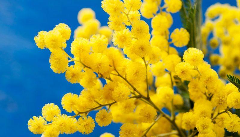 """MIMOSA. Oltre ad essere il simbolo dell'8 marzo, questo piccolo fiore è anche conosciuto come """"pianta sensibile"""": le sue foglie si richiudono sia quando viene toccato sia di notte, e per questo viene associato alla castità."""