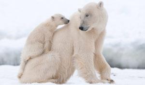"""Giornata mondiale dell'orso polare. WWF: """"Specie sempre più a rischio"""""""