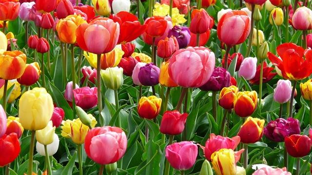 """TULIPANI. I periodi più prosperi dell'Impero Ottomano furono chiamati """"Età del Tulipano"""", facendo riferimento alle connotazioni positive date a questo fiore dalle popolazioni dell'impero. Per gli inglesi, tuttavia, il tulipano simboleggia la passione, mentre per gli olandesi rappresenta la brevità della vita."""