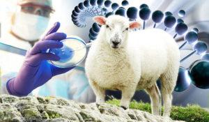 Creato embrione ibrido uomo-pecora: favorirà i trapianti d'organo