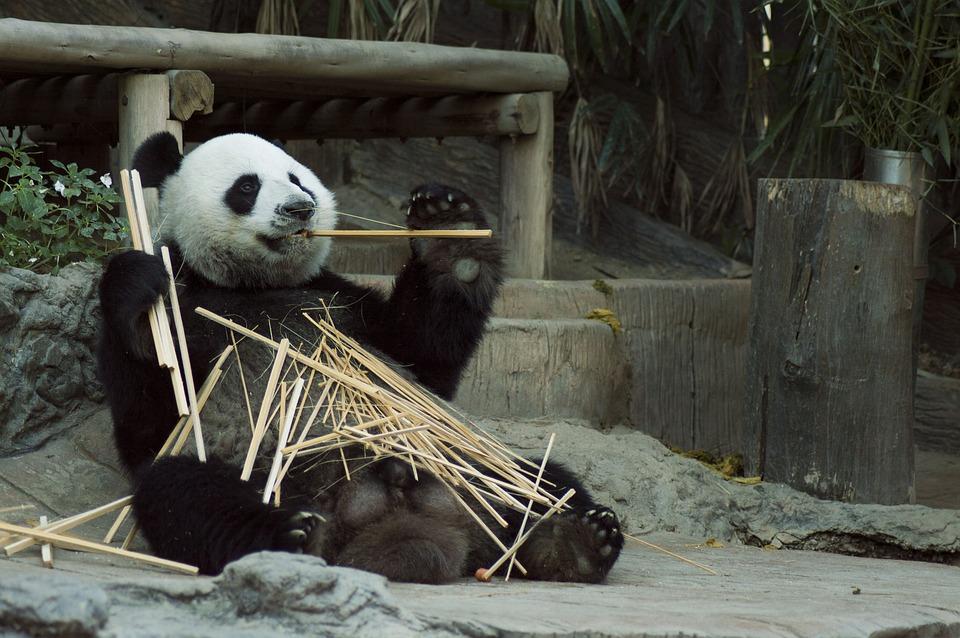 Il panda trascorre 14 ore al giorno mangiando. Nonostante sia classificato come carnivoro, la sua dieta consiste per il 95% in germogli e foglie di bambù (almeno 38kg al giorno).