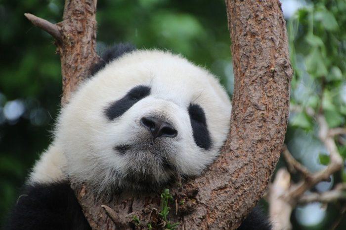 Secondo l'ultimo censimento del WWF sono esattamente 1.864 gli esemplari di panda rimasti nelle foreste della Cina, a cui si aggiungono i 300 esemplari circa nelle strutture e riserve mondiali (in Cina oltre due terzi di questi).