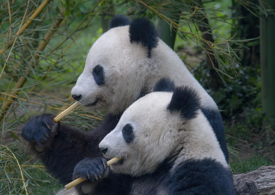 I panda lottano per procreare, sia per il numero ridotto della specie che per problemi di infertilità e accoppiamento.