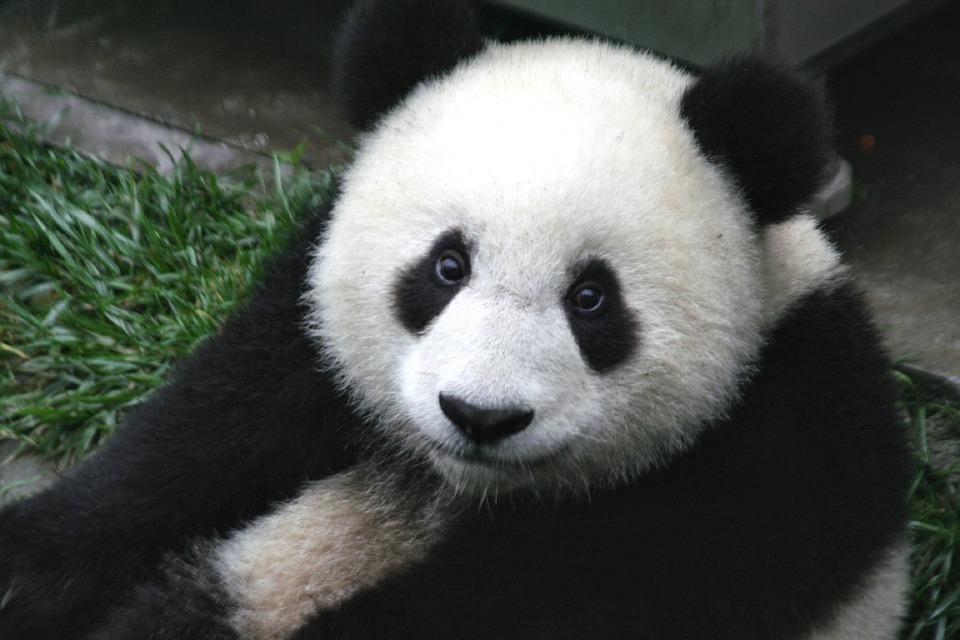 I panda giganti femmina sono pronti per la riproduzione solo una volta l'anno, per un periodo di fertilità che va dalle 48 alle 72 ore.