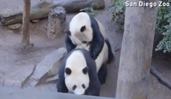panda-accoppiamento-zoo-san-diego-1