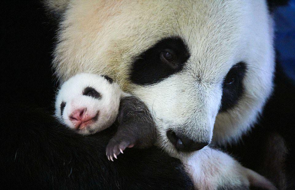 panda e figlio