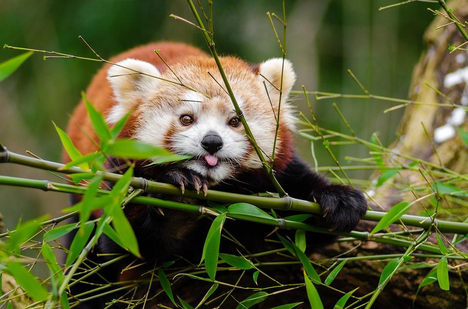 Il panda gigante è imparentato solo alla lontana con il panda minore.
