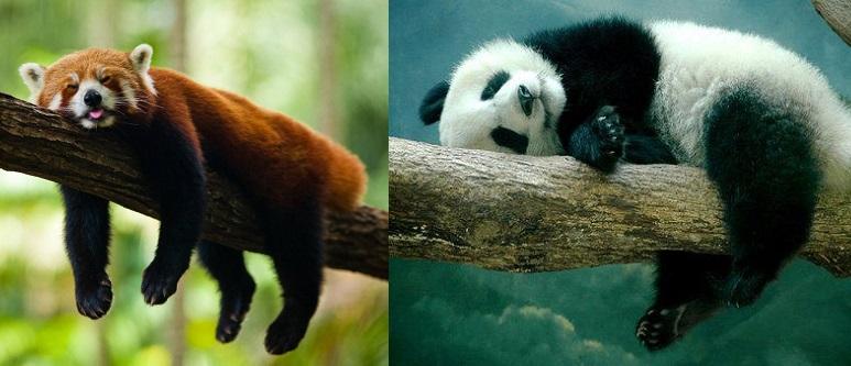 panda-sleeping