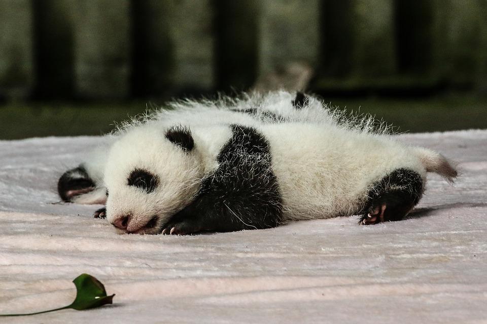 I panda sono molto piccoli alla nascita (pesano circa 80 grammi) e hanno notoriamente problemi di vista, e per loro è difficile sopravvivere sia in cattività che in natura. In diverse occasioni, i neonati sono stati uccisi perché schiacciati accidentalmente dalle madri.