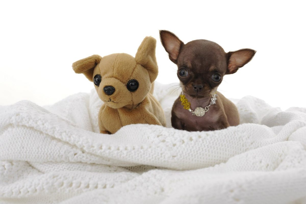 при картинки самая маленькая порода собак в мире прошлом