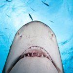Chi è il vero squalo? Il WWF lancia il progetto SafeSharks