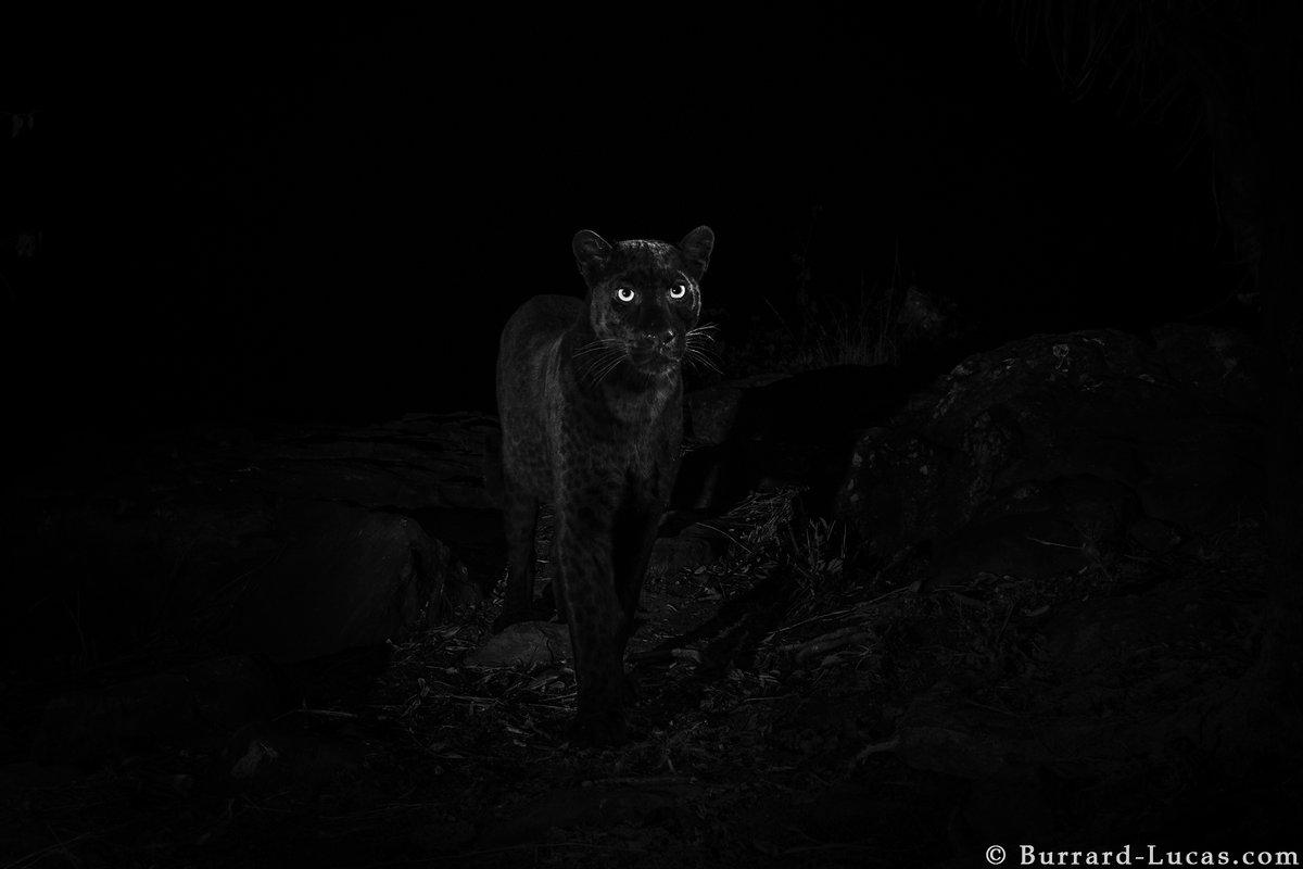 leopardo_nero