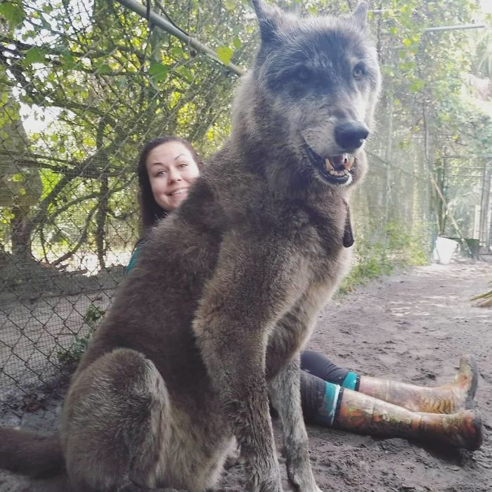 This-wolf-named-Yuki-should-have-been-put-to-sleep-7-years-ago-But-he-was-saved-and-today-charms-everyone-with-his-beauty-5c768675b5421__700