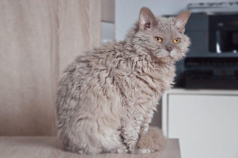 gatto riccio (1)