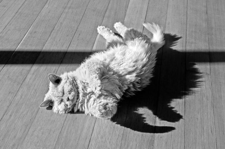 gatto riccio (11)