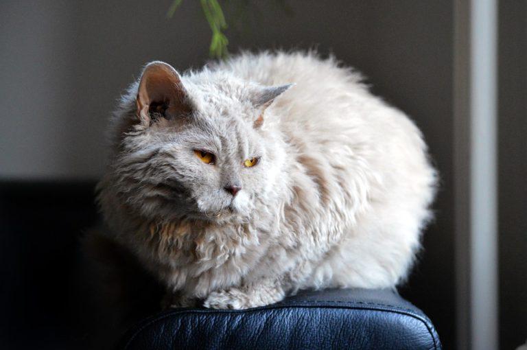 gatto riccio (12)
