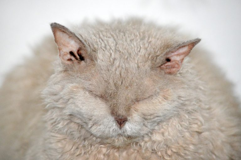 gatto riccio (13)