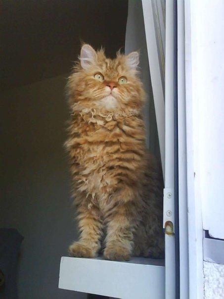 gatto riccio (2)
