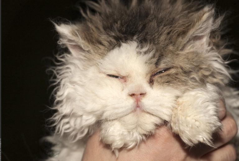 gatto riccio (4)