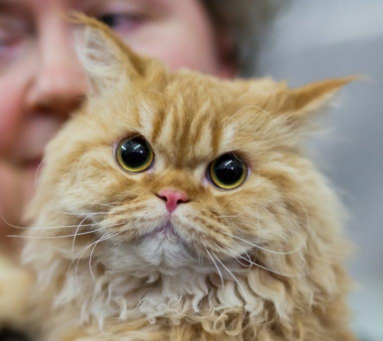 gatto riccio (5)