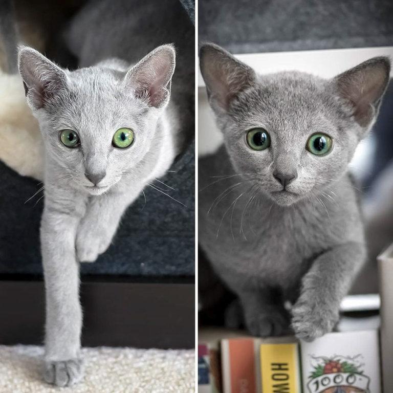gatti blu di russia (1)