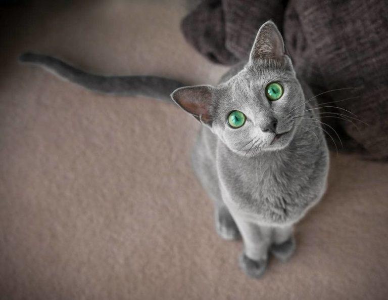 gatti blu di russia (10)
