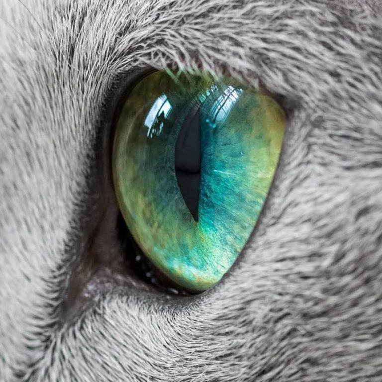gatti blu di russia (11)