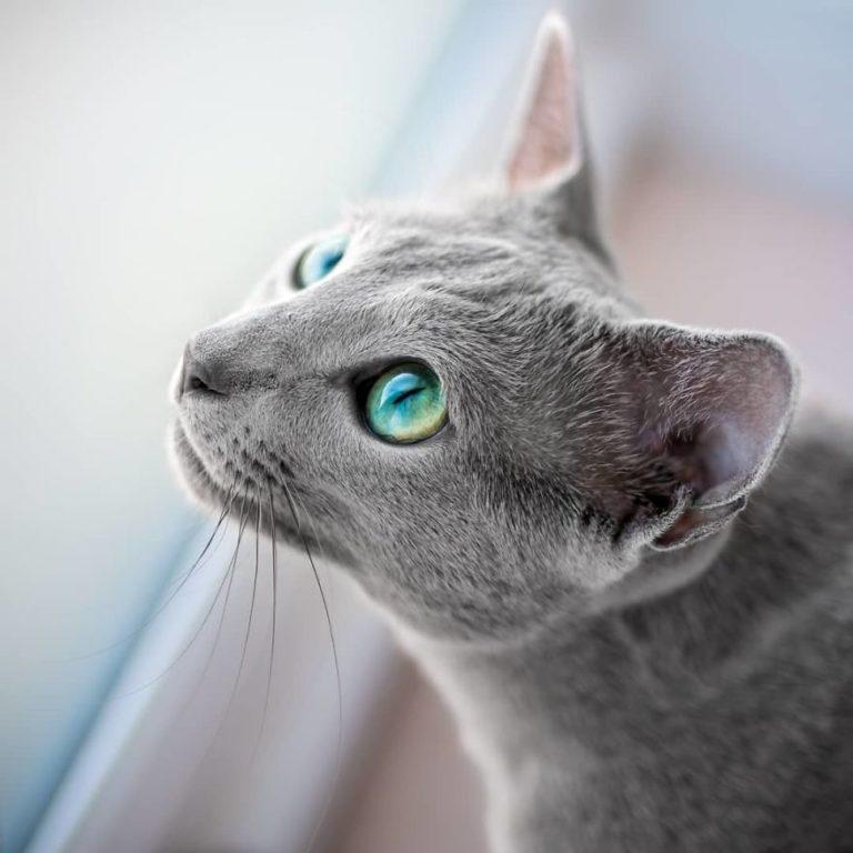 gatti blu di russia (12)