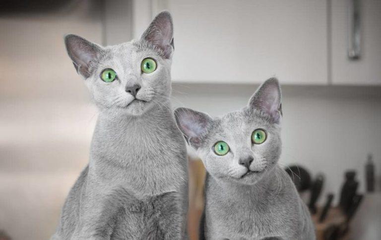 gatti blu di russia (13)