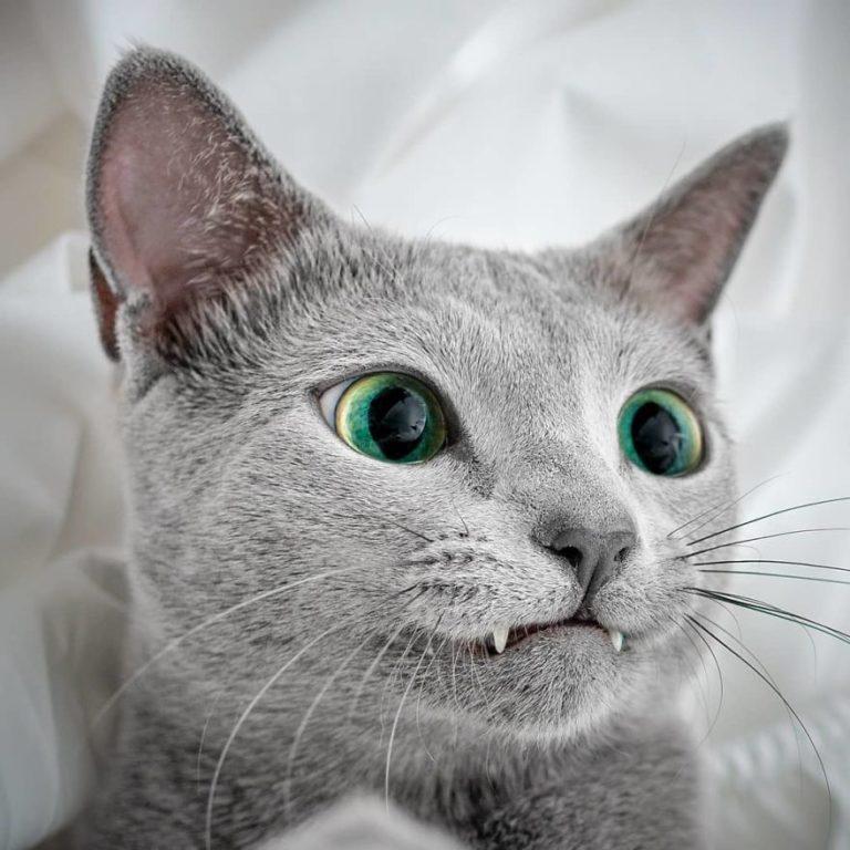 gatti blu di russia (3)