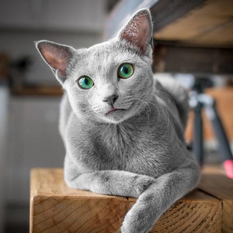 gatti blu di russia (5)