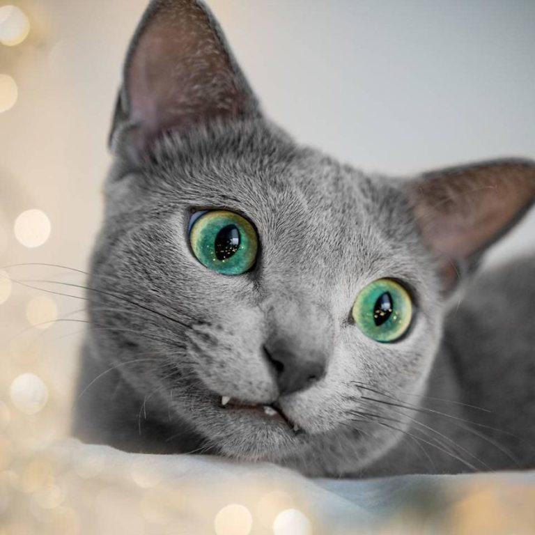 gatti blu di russia (6)