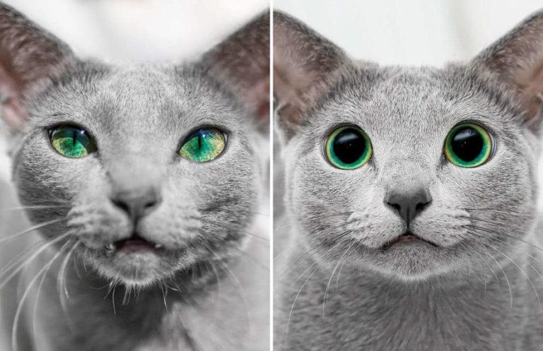 gatti blu di russia (9)