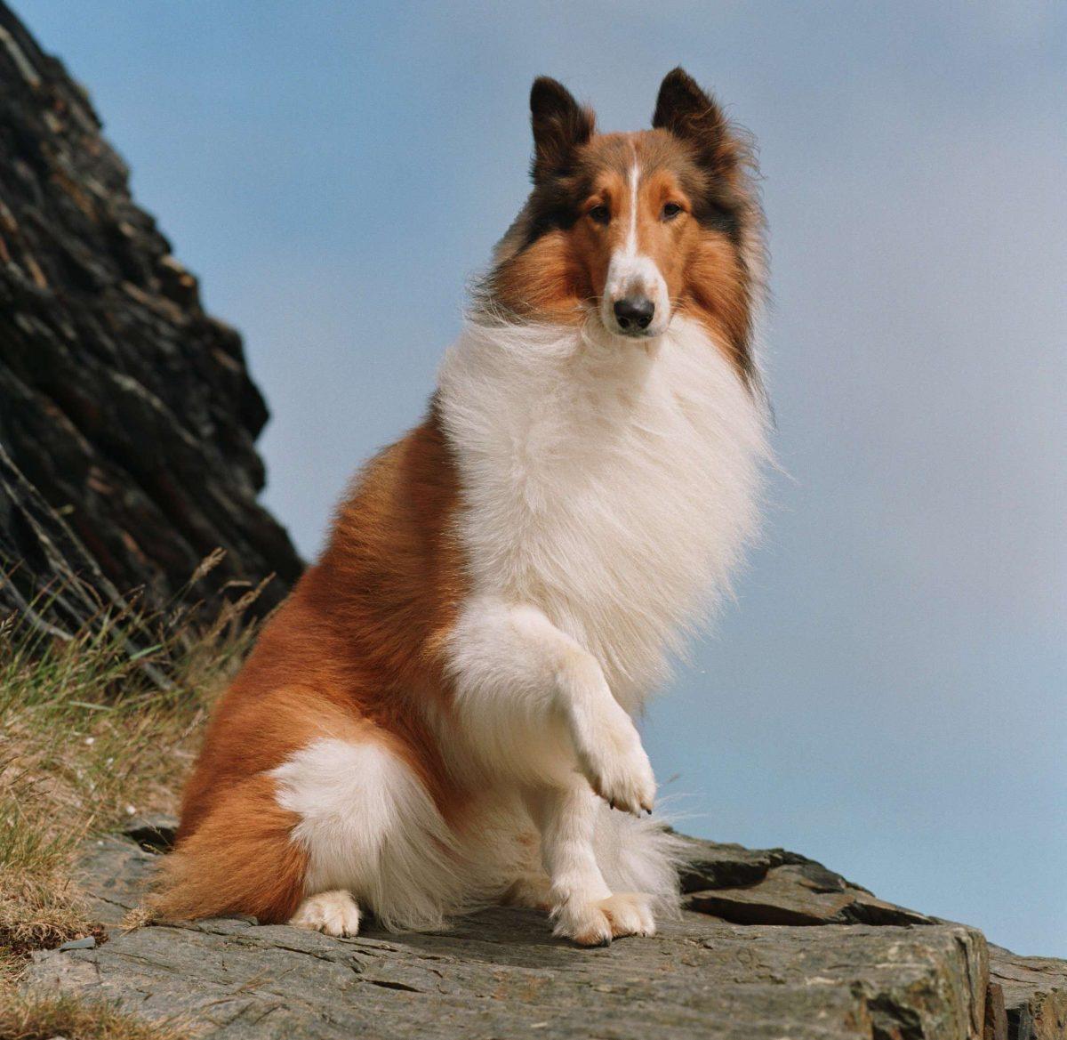Lassie, protagonista dell'omonima serie tv e del film 'Torna a casa Lassie'
