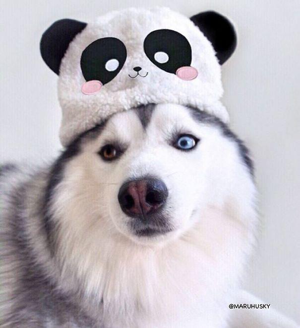 maru husky panda (1)