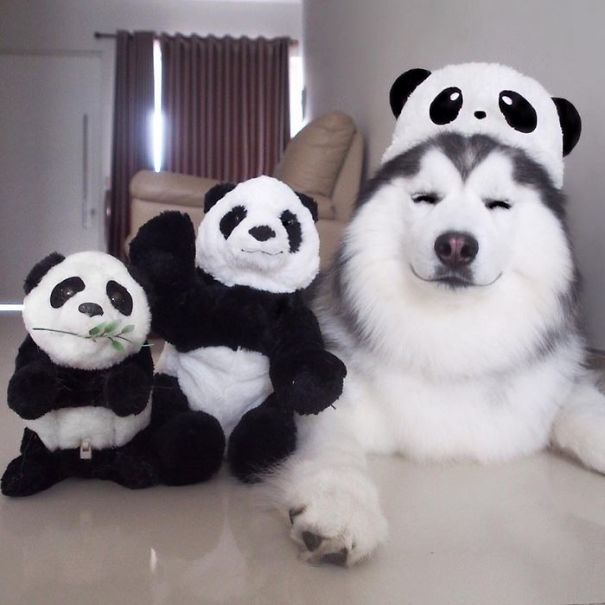 maru husky panda (3)