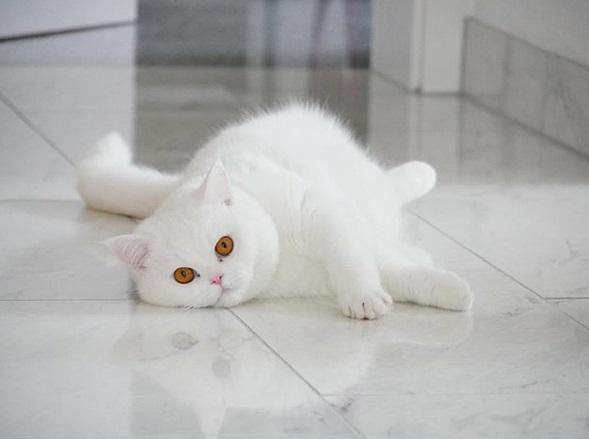gatto bianco perseus 13