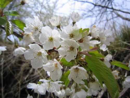 Prunus avium (Ciliegio)