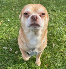 Chihuahua demoniaco adozione (2)