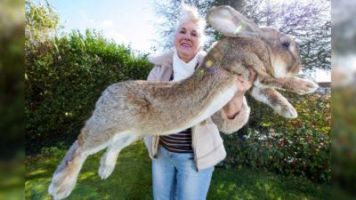 coniglio più grande del mondo