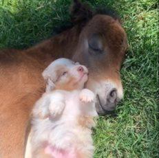 cucciolo cavallino